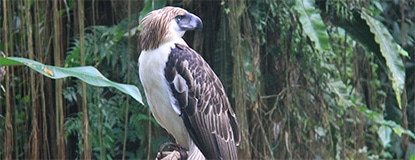 Chasing Places Feature, The Philippine Eagle